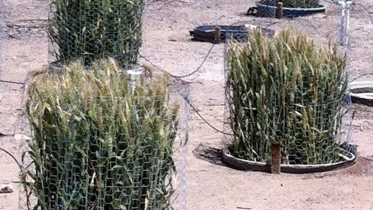 Wheat microplots used for research on root-knot nematodes