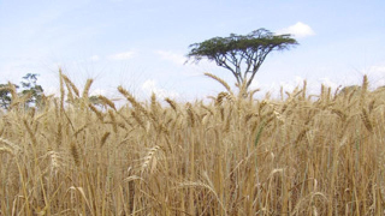 This wheat field in Njoro Africa is damaged by stem rust. (Matt Rouse photo)