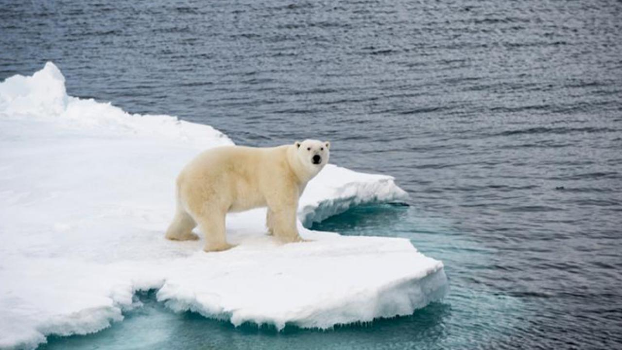 A polar bear on Arctic sea ice. (Getty Images)