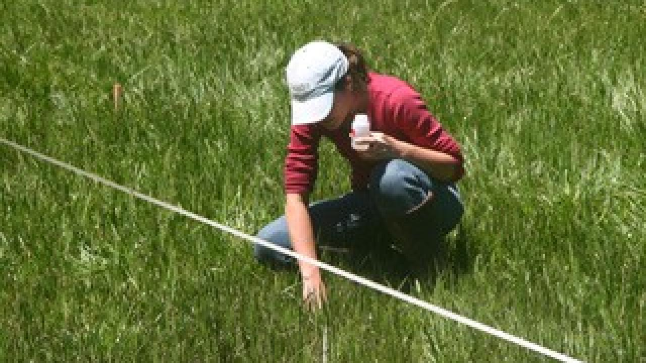 Postdoctoral scholar Leslie Roche takes a water sample from a meadow on a US Forest Service grazing allotment for her study on cattle grazing and water quality. (Kenneth Tate/UC Davis)