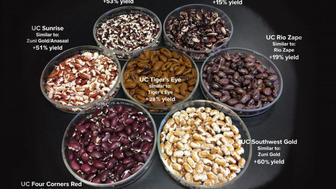 The new varieties released by UC Davis include seed coat patterns and cooking quality that are desired by chefs and home cooks. The new varieties combine these characteristics with improved productivity on organic farms. (Travis Parker/UC Davis)