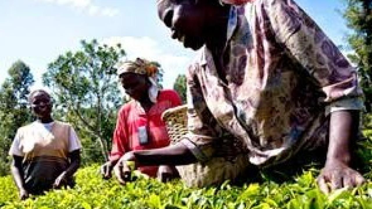 Adding to major crops like tea, being picked here, the African Plant Breeding Academy will focus on 100 traditional crops that have been neglected for having lower economic priority. (Mars Inc./courtesy photo)