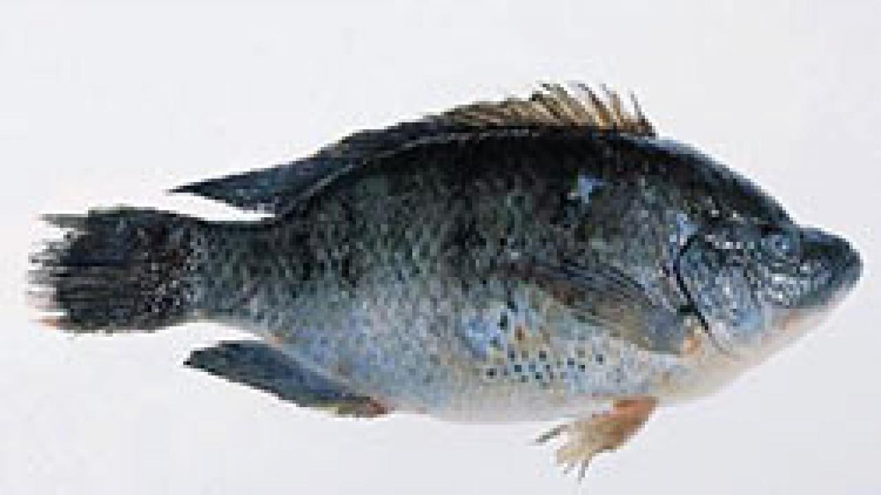 Mozambique Tilapia Photo US FDA