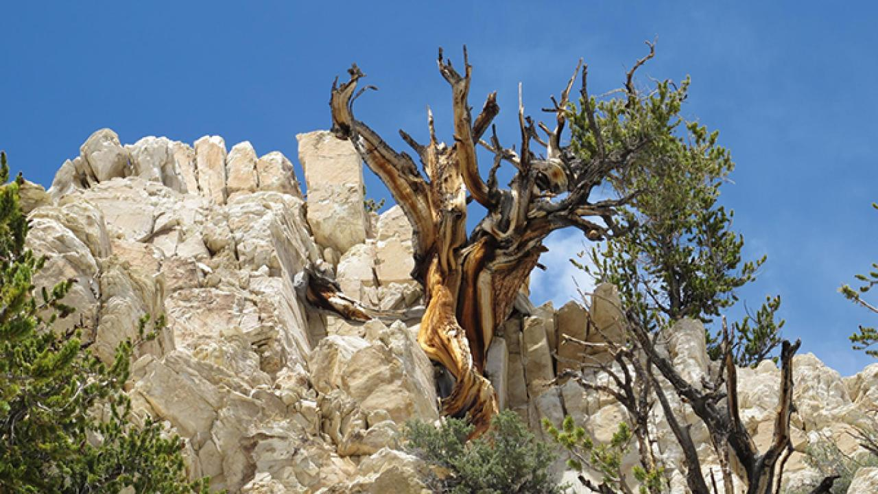 Bristlecone pine trees grow on soils and in conditions where few other species can live. But limber pines in the Great Basin region, such as California's White Mountains, are beginning to give them some competition. (Brian Smithers/UC Davis)