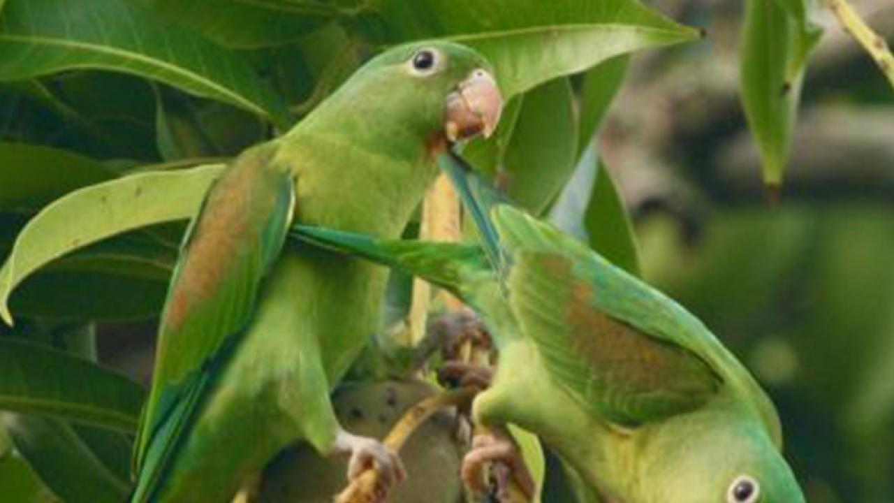 Orange-chinned parakeets eat mangoes from a farmer's tree in Costa Rica. It can thrive in drier habitats. (Daniel Karp/UC Davis)