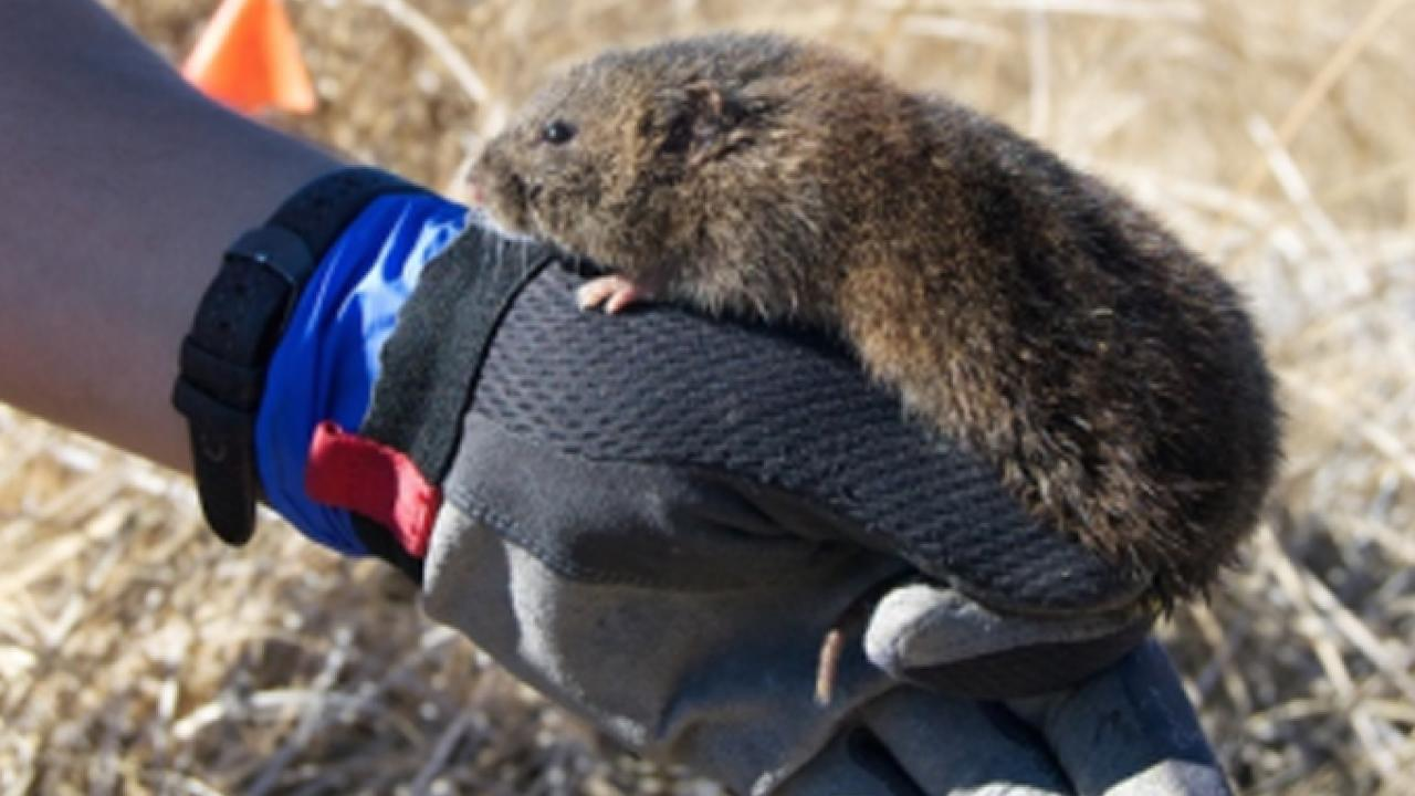 Austin Roy of the California Department of Fish and Wildlife offers a helping hand to an endangered Amargosa vole (Andrew DiSalvo/California Department of Fish and Wildlife photo)