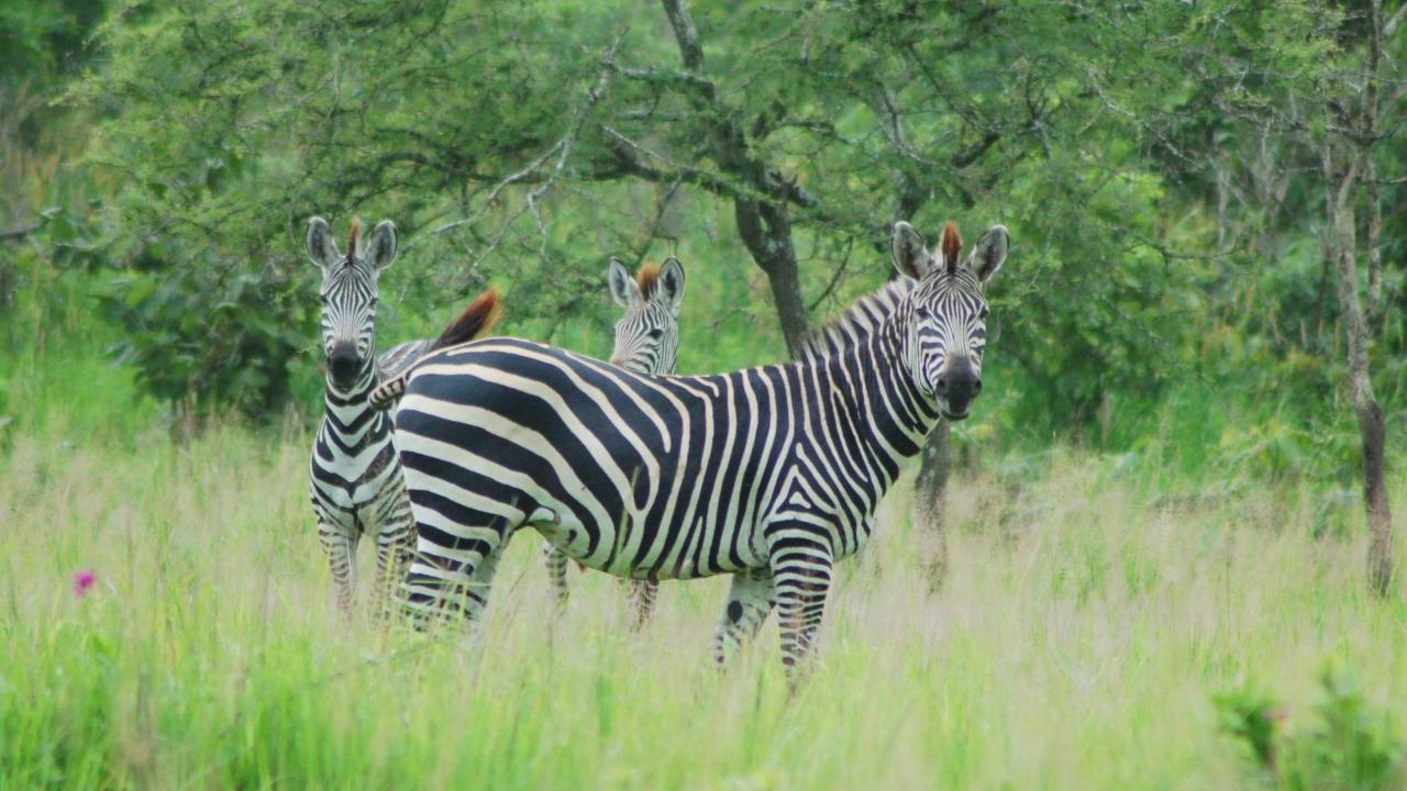 UC Davis scientists have learned why zebras, like these plains zebra in Katavi National Park, Tanzania, have stripes. (photo: Tim Caro/UC Davis)