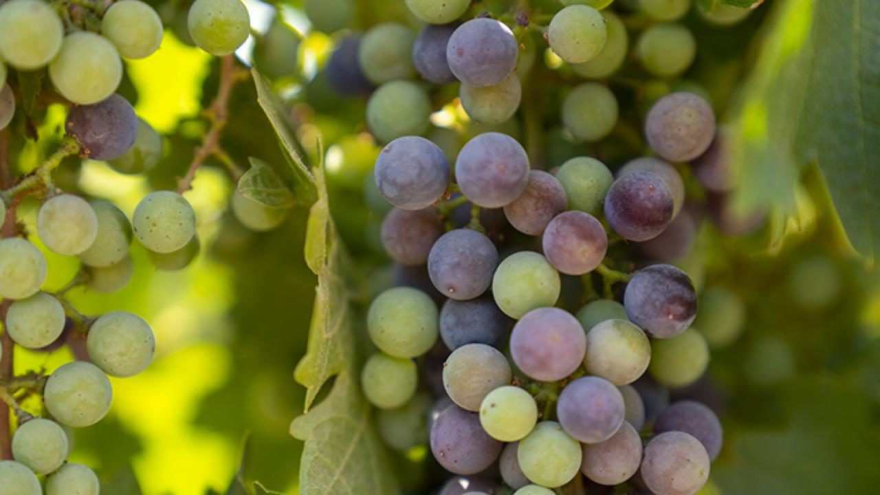 Grapes growing at the Roduner Ranch south of Merced.