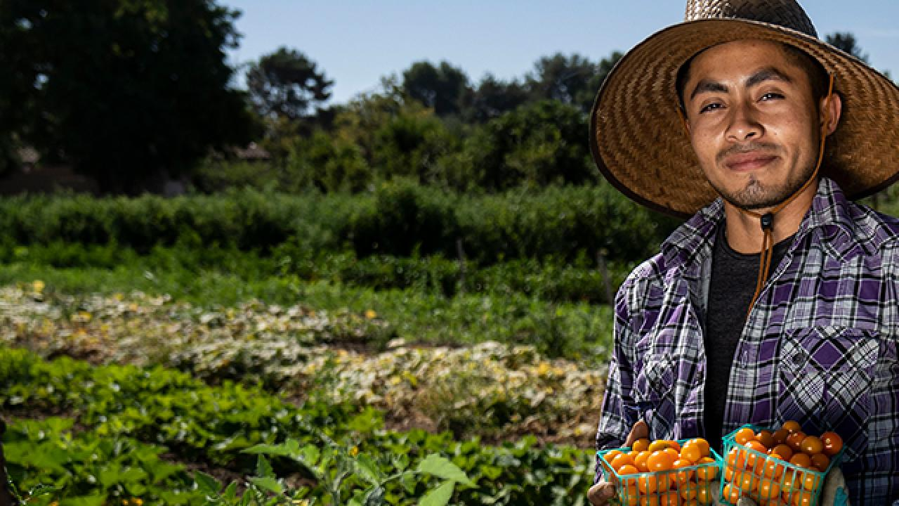 A student harvests vegetables at the UC Davis Student Farm.