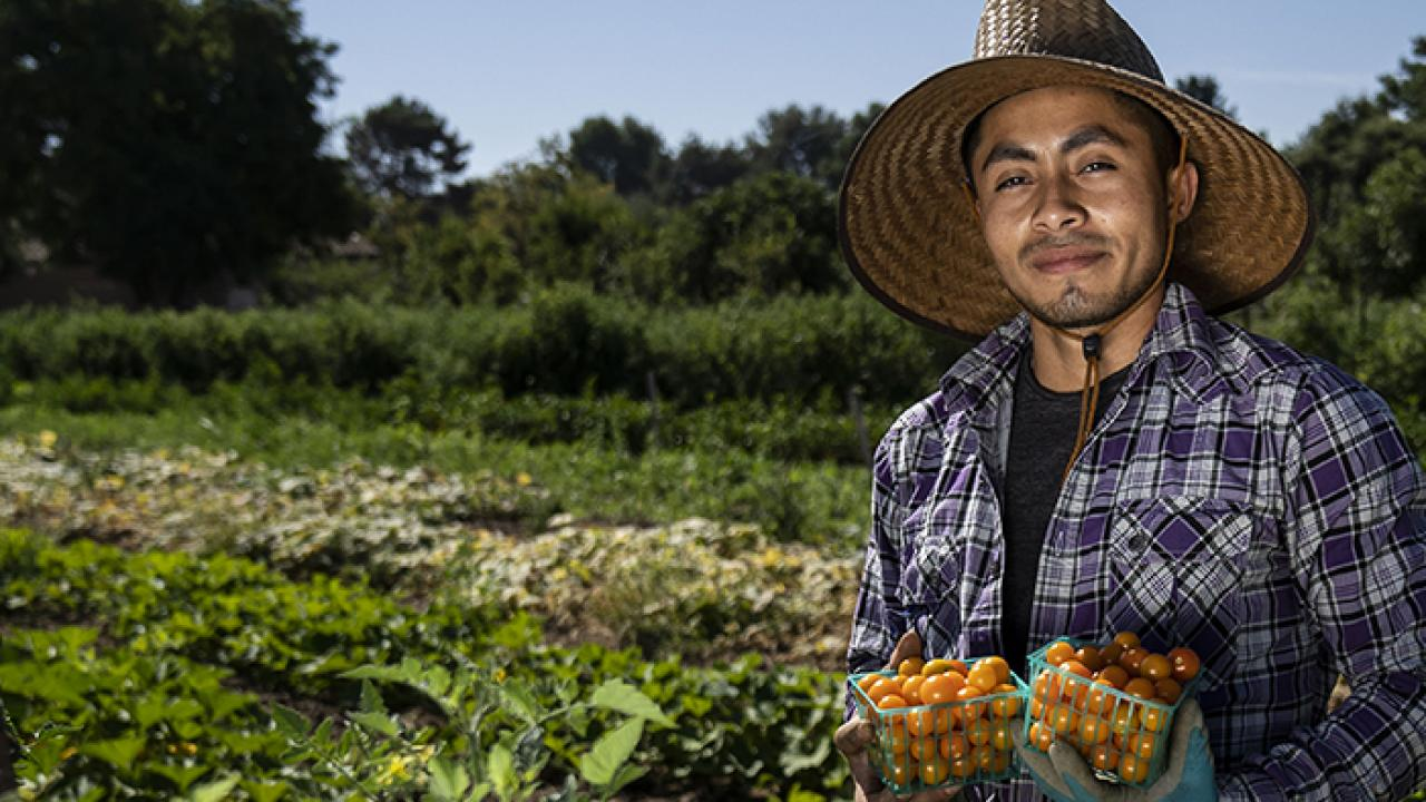 A student harvesting tomatoes at the UC Davis Student Farm.