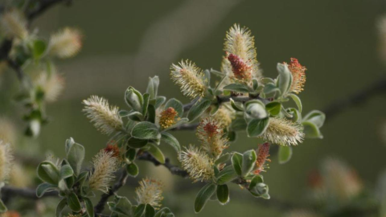 A gray willow flowers in Arctic Greenland. (Eric Post, UC Davis)