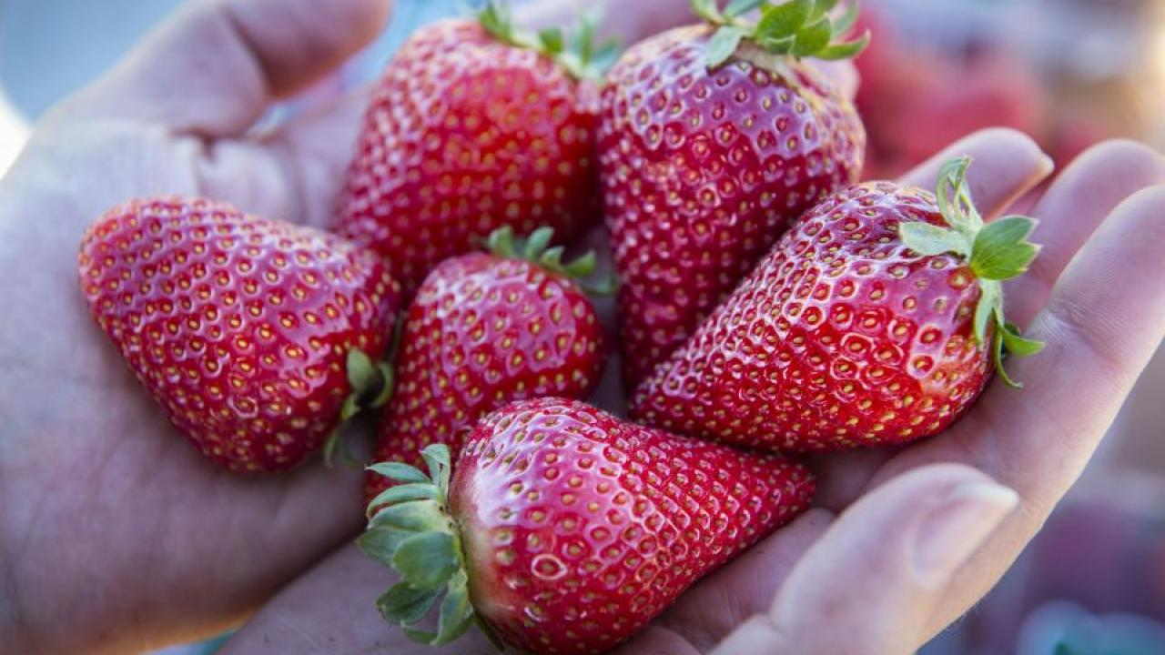 The UC Davis Finn is one of two new strawberry varieties bred to be large, sweet, and to ripen in winter. (Hector Amezcua/UC Davis)