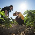 "A group of UC Davis students is breeding a ""jalapeño popper,"" a cross between a bell pepper and a jalapeño pepper. Two members of the team, Randi Jimenez and Wengyuan Xiao, examine their crop at the Student Farm."