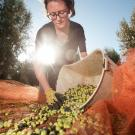 "Food science graduate student Lauren Crawford, who did her undergraduate studies at Cornell University, said ""Before I came here, I had no idea how big olives were in California, and the amount of research going into improving the industry.""(Gregory Urquiaga/UC Davis)"