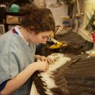 Museum intern Rachel Alsheikh, a senior majoring in wildlife, fish and conservation biology, prepares a California condor specimen for use in research and teaching. (UC Davis/Gregory Urquiaga)