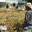 Farmers got a first hand look at variety trials underway at Small Grains Field Day.