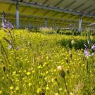 The shade and sun of solar farms, like this one managed by Oregon ecologist Sean Prive of the Understory Initiative, can support diverse species of flowering plants and grasses to help pollinators and other species.