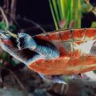 The habitat of red-bellied short-necked turtles is expected to be affected by rising sea levels. (Todd Stailey/Tennessee Aquarium)