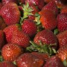 An international team of scientists has sequenced the genome of the cultivated strawberry, providing a genetic roadmap to select desired traits. (UC Davis)
