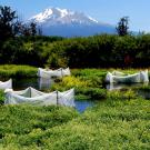 With Mount Shasta in the background, a series of enclosures contain juvenile coho salmon as part of a UC Davis experiment in the Shasta River Basin. (Rob Lusardi/UC Davis)