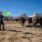 Professor Kristina Horback tests whether props like colorful flags can help assess cattle personality traits like boldness.