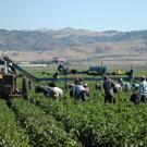 Farmworkers in an agricultural field.