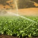 A field of greens is irrigated in California The ability to predict heat waves in the Central Valley could help better prepare and protect crops and people from the impacts. (Getty)