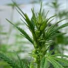 Industrial hemp plant. UC Davis plans to launch a Cannabis and Hemp Research Center this year. (Charles Brummer/UC Davis)