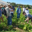Student Carli Hambley demonstrates how to harvest produce at the June gleaning. (Katie Hetrick/UC Davis photo)