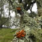 Lichen on a Napa County oak tree.