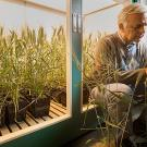 Plant geneticist Jorge Dubcovsky examines one of the wheat plants being raised in an indoor growth chamber. (Karin Higgins/UC Davis photo)
