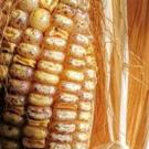 Transposons are mobile pieces of DNA that influence other genes. In this photo, each spot on a corn kernel is caused by a transposon.