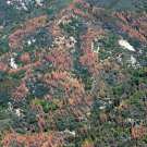 Dead and dying trees dot the landscape in the Sierra Nevada during the region's recent drought. (USDA Forest Service)