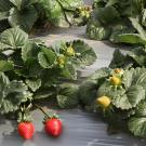A federal jury has ruled in favor of the University of California in its lawsuit with two former UC Davis strawberry breeders and the private breeding company they created with UC-owned plants. (UC Davis)