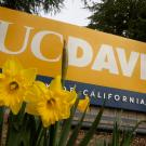 Daffodils are breaking through the soil for spring around the Old Davis Road UC Davis sign on February 16, 2021.