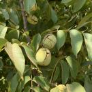 The UC Wolfskill walnut will allow growers to harvest earlier and still provide quality, yield and color of the state's leading variety. (Jeanine Hasey)