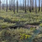 A post-fire area of the Sierra Nevada mountains with negligible conifer regeneration. (Joseph Stewart, UC Davis/USGS)