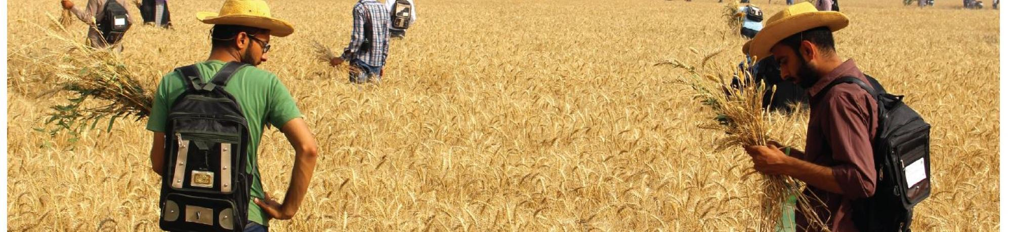 men standing in wheat
